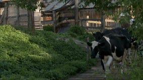 Vacas en el corral metrajes