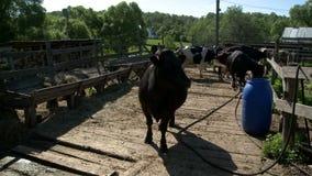 Vacas en el corral almacen de video