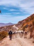 Vacas en el desierto Imagen de archivo libre de regalías