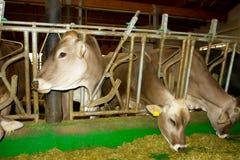 Vacas en el establo Imagen de archivo libre de regalías