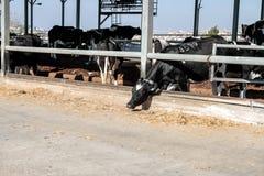 Vacas en el establo fotografía de archivo libre de regalías