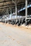 Vacas en el establo imagenes de archivo