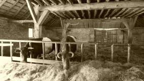 Vacas en el granero foto de archivo libre de regalías