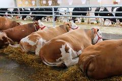Vacas en el granero que colocan Fotografía de archivo libre de regalías