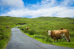 Vacas en el lado del camino Fotografía de archivo libre de regalías