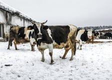 Vacas en el paseo Imagenes de archivo