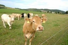 Vacas en el pasto. Foto de archivo