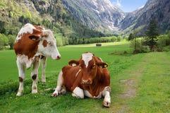 Vacas en el pasto alpestre de la montaña Fotografía de archivo