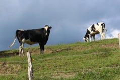 Vacas en el pasto en un día de verano Fotos de archivo libres de regalías