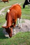 Vacas en el prado Foto de archivo libre de regalías