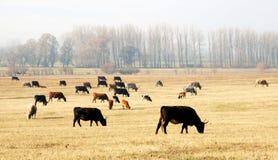 Vacas en el prado Imagen de archivo libre de regalías