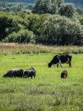 Vacas en el prado Fotos de archivo libres de regalías
