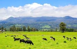 Vacas en el prado alpestre fotografía de archivo