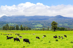 Vacas en el prado alpestre foto de archivo libre de regalías