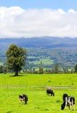 Vacas en el prado alpestre fotos de archivo libres de regalías