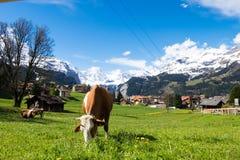 Vacas en el prado del pueblo de Wengen, Suiza Imagen de archivo libre de regalías