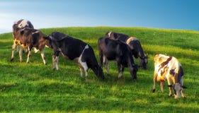 Vacas en el prado verde Fotografía de archivo