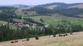 Vacas en el pratum metrajes