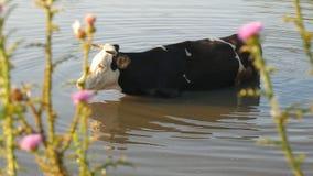 Vacas en el río Vacas que beben en el agua del río Agua de la bebida de las vacas almacen de metraje de vídeo