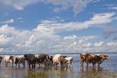 Vacas en el riego Fotografía de archivo