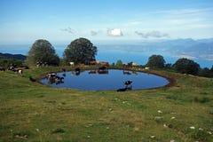 Vacas en el riego en el verano fotografía de archivo libre de regalías