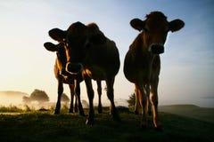 Vacas en el sol de la madrugada Fotografía de archivo libre de regalías