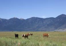 Vacas en el valle de Nevada Carson Imagen de archivo libre de regalías