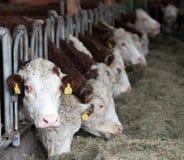 Vacas en establo Imagenes de archivo