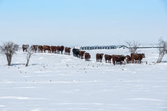 Vacas en fila Fotos de archivo libres de regalías