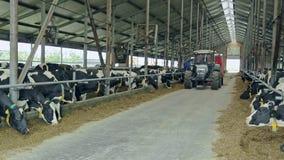Vacas en granero moderno en la granja lechera Cultivo de ganado Industria de la agricultura metrajes