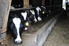 Vacas en granja Imágenes de archivo libres de regalías