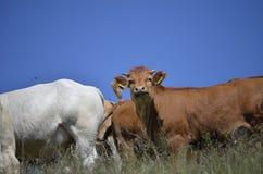 vacas en granja Fotos de archivo libres de regalías
