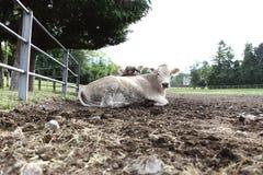 Vacas en granja del campo Foto de archivo