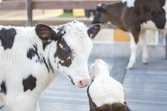 vacas en granja Vacas lecheras Imagen de archivo libre de regalías