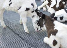 vacas en granja Vacas lecheras Fotos de archivo