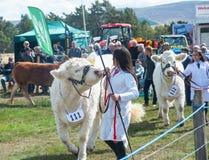 Vacas en Grantown-en-Spey la demostración Imágenes de archivo libres de regalías