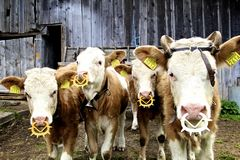 Vacas en Gridewald, Suiza Imágenes de archivo libres de regalías