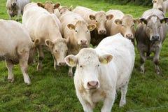 Vacas en hierba verde Fotos de archivo