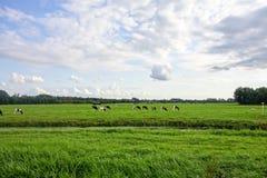 Vacas en Holanda Foto de archivo