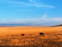 Vacas en Idaho Imagen de archivo libre de regalías