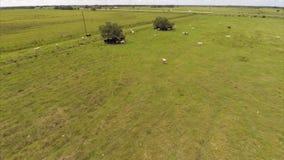 Vacas en imágenes de vídeo de la antena de la granja metrajes
