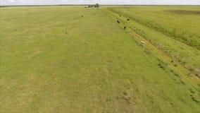 Vacas en imágenes de vídeo de la antena de la granja almacen de metraje de vídeo
