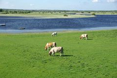 Vacas en Irlanda Imágenes de archivo libres de regalías