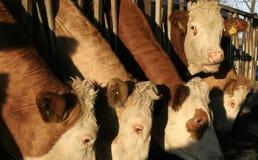 Vacas en jaula Imagen de archivo