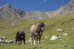 Vacas en Kirguizistán Fotografía de archivo libre de regalías