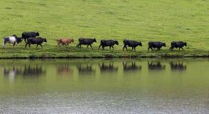 Vacas en línea Imagenes de archivo