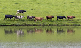 Vacas en línea Fotos de archivo libres de regalías