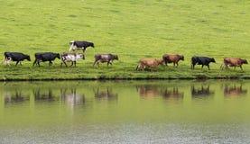 Vacas en línea Imágenes de archivo libres de regalías