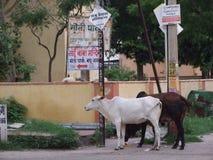 Vacas en la calle Imagen de archivo libre de regalías