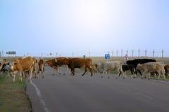 Vacas en la carretera de asfalto por la mañana en el campo Foto de archivo libre de regalías